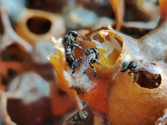 Dinokelulut stingless bee honey